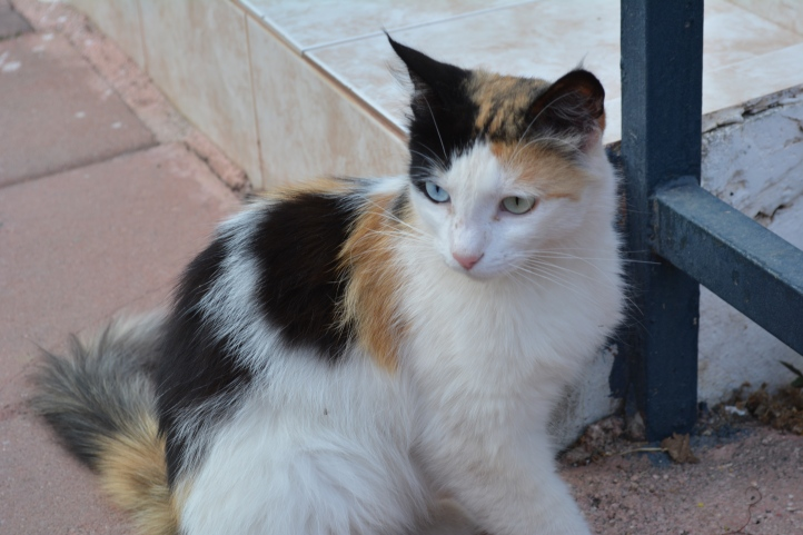 These cats are common in Eastern Turkey, having one blue eye and one green eye.
